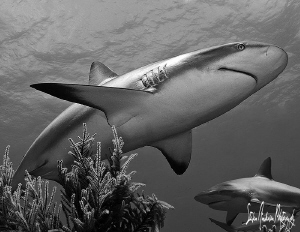 Reef Sharks with character are always fun to photograph w... by Steven Anderson 